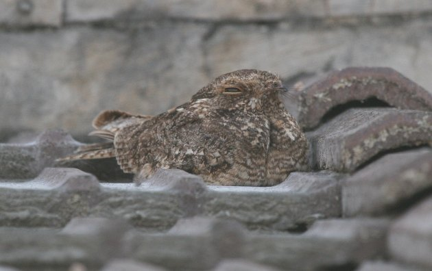 savanna nightjar 2