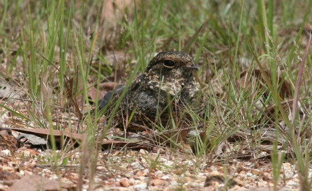 savanna nightjar ground 1