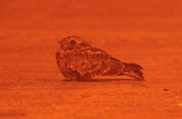 savanna nightjar on road