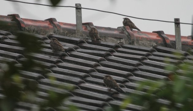 savanna nightjars on roof in rain