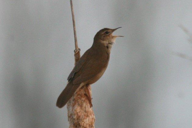 savis warbler