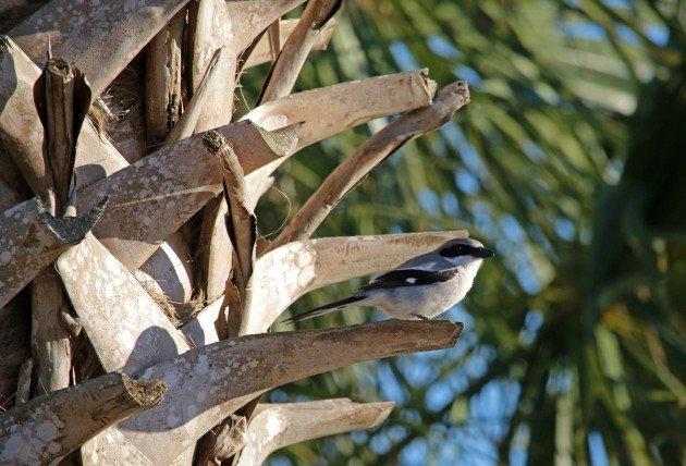 loggerhead shrike, birding, bird, florida