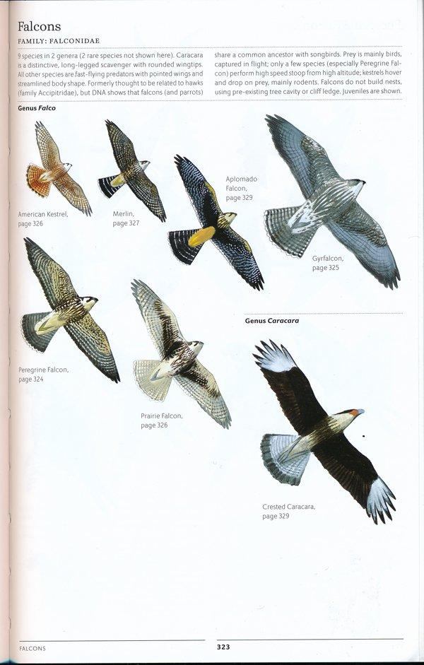 sibley.falcons