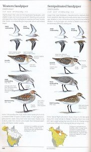 sibley.westernsandpiper