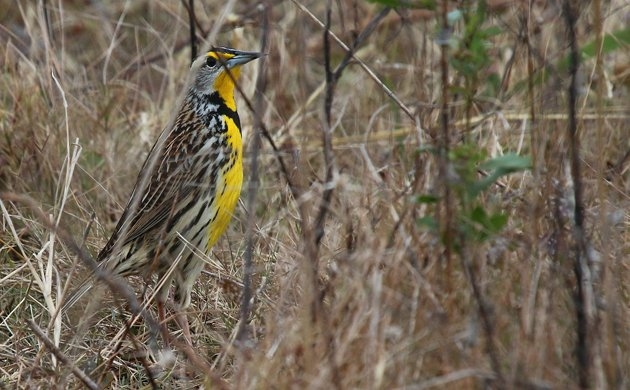 space coast Eastern Meadowlark