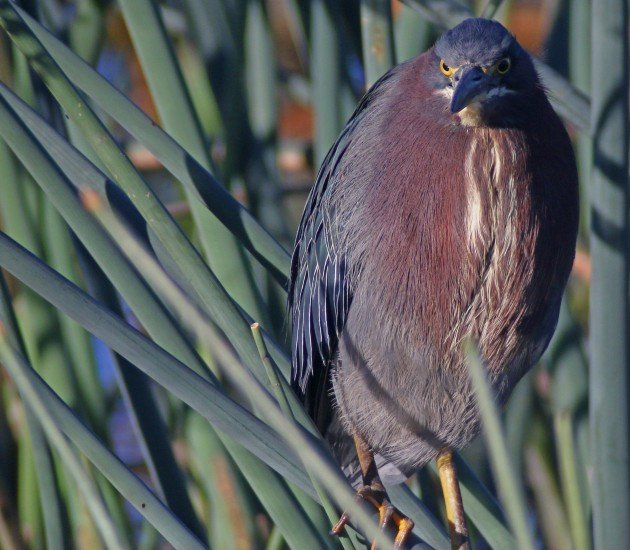 space coast Green Heron