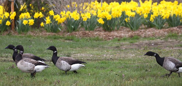 Brant and daffodils