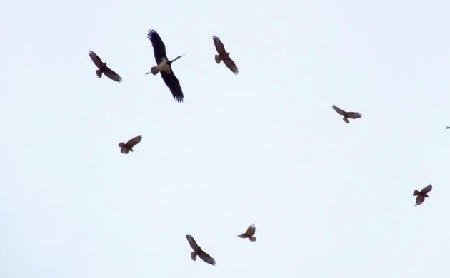 stork and buzzards