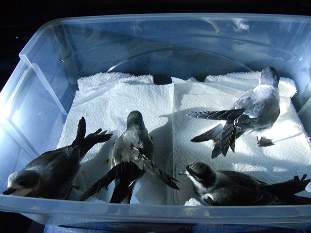 Rescued Hornby's Storm-Petrels - Surbound