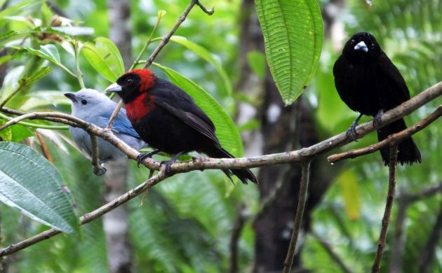 tanagers on branch