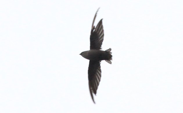 tattered Chimney Swift