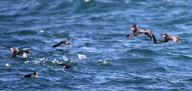 three shearwater species