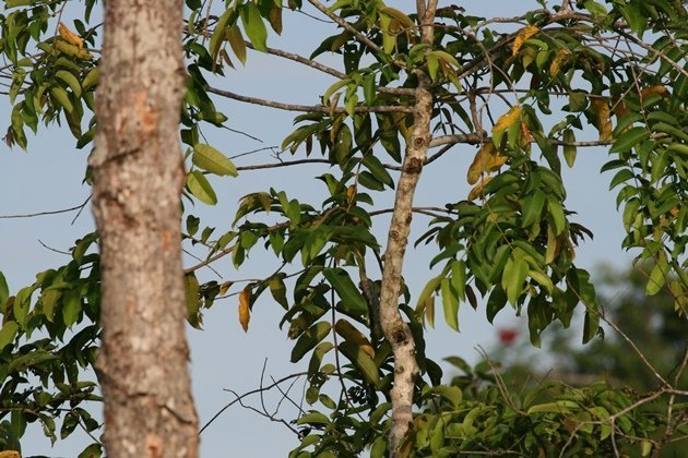 tiny leafbird 2