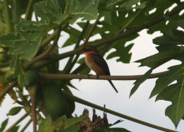 vanuatu-kingfisher