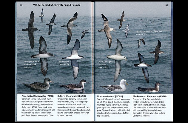 wb shearwaters