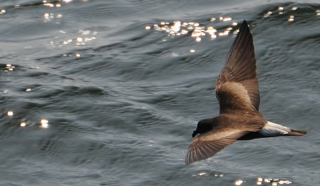 wedge range Stormpetrel_ready