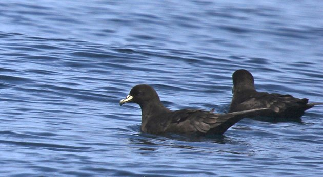 white chinned petrels_ready