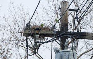 whitestone.monkparakeets.utilitypole.cbc