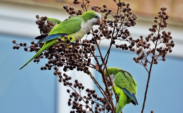 The Parakeet of City Streets, the Monk Parakeet