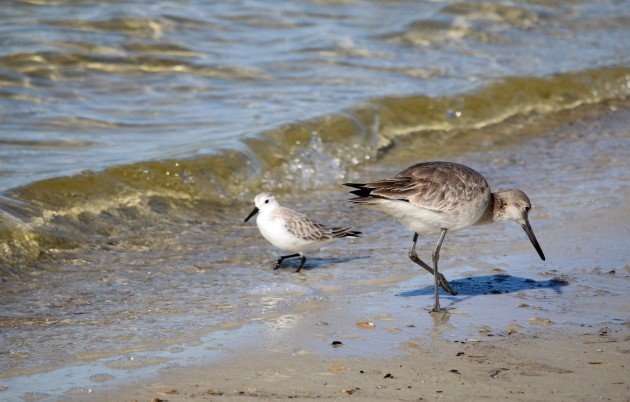 willet, sanderling, nature
