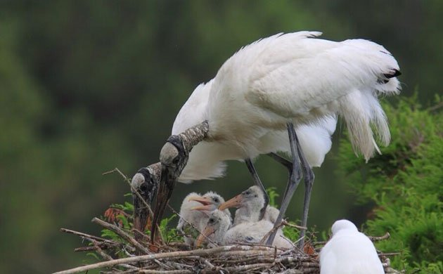 wood-stork-back-from-the-brink_ready