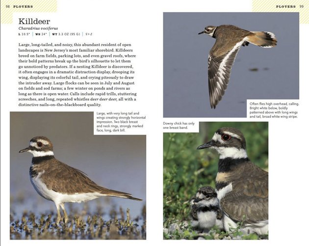 nj wright Killdeer