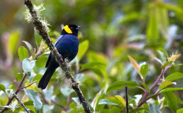Yellow scarfed tanager