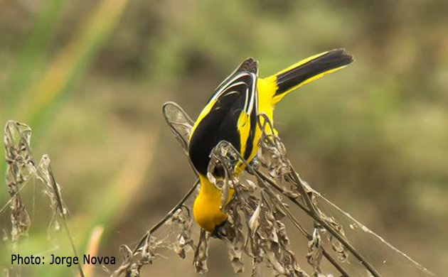 Yellow_tailed Oriole