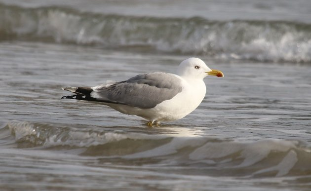 yellowlegged gull 2