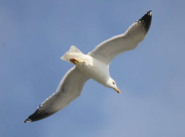 yellowlegged gull 3