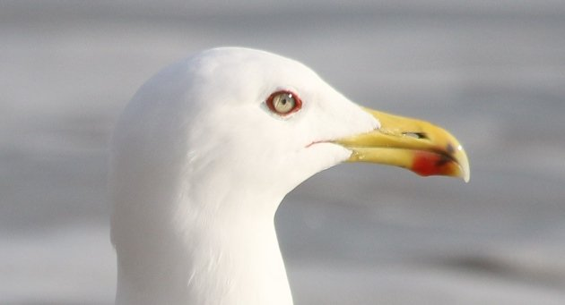 yellowlegged gull portrait