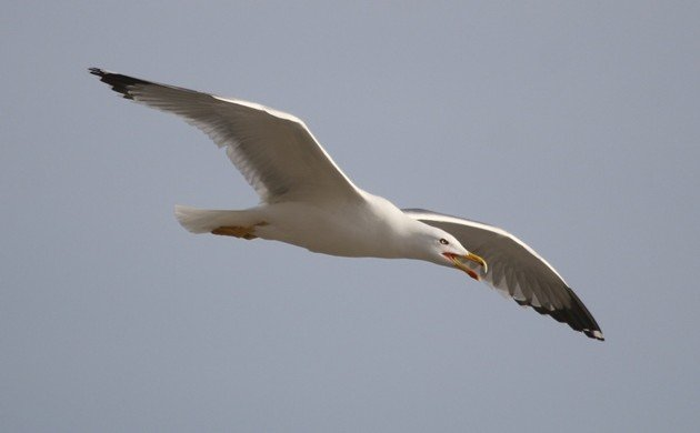 "The true ""Mediterranean"" Gull"