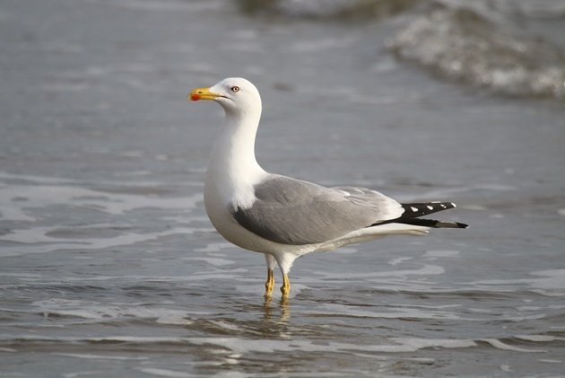 yellowlegged gull1