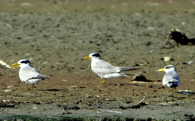 yellow billed tern