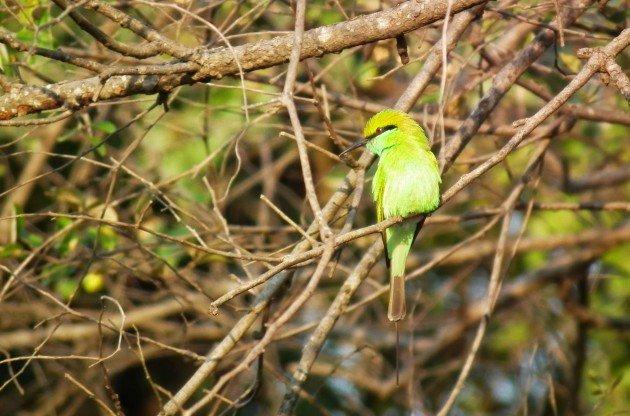 zelena pcelarica Merops orientalis Gir 463