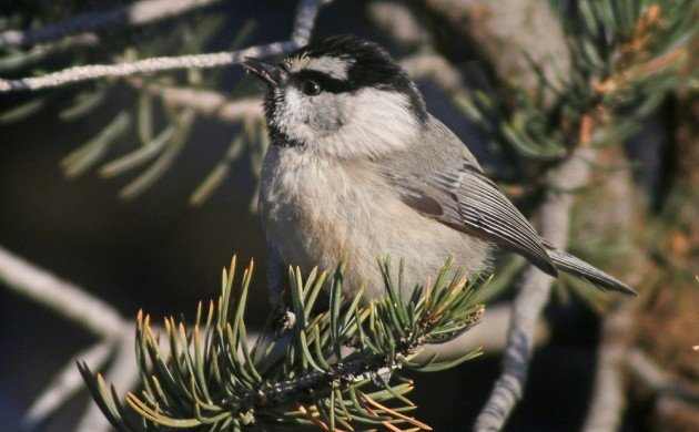 zion Mountain Chickadee