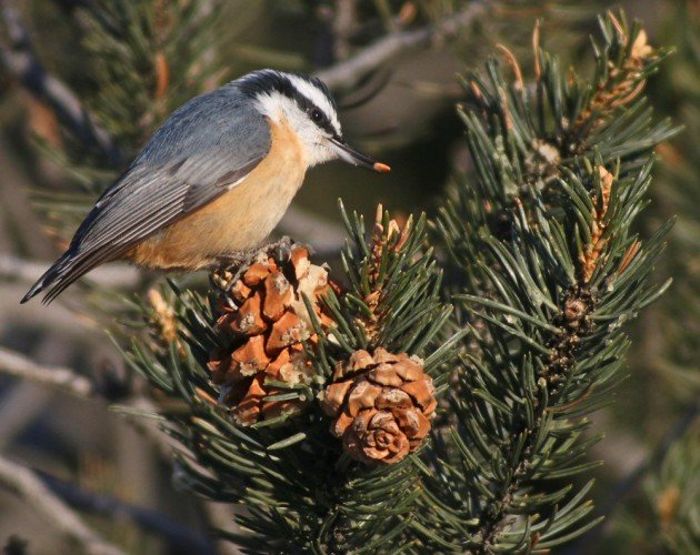 zion Red-breasted Nuthatch