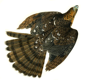 Cooper's Hawk by Audubon
