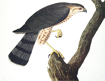 Sharp-shinned Hawk by Audubon