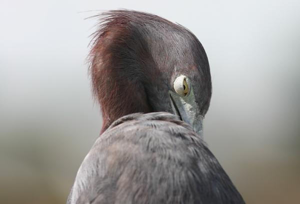 Little Blue Heron preening