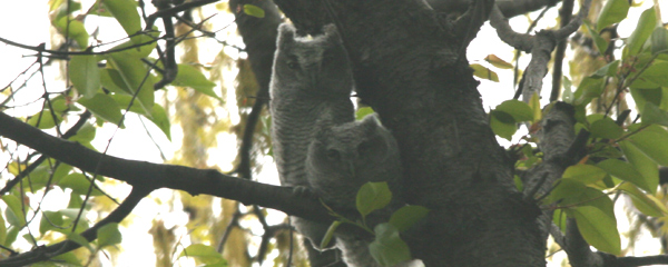 Eastern Screech Owl Adult and Chick