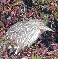 Immature Yellow-crown Night-heron