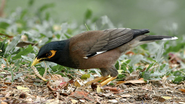 Common Myna by Charlie