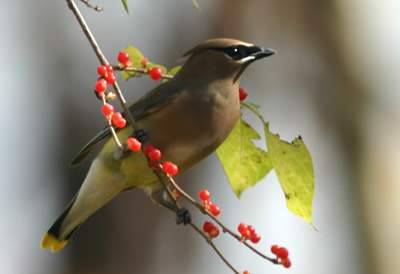Cedar Waxwing by Mike Bergin