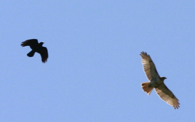 Crow vs. Hawk 1