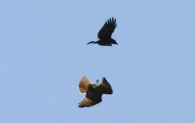 Crow vs. Hawk 3