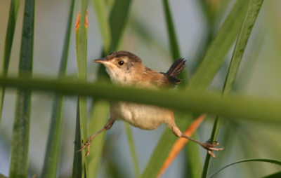 Marsh Wren Straddle