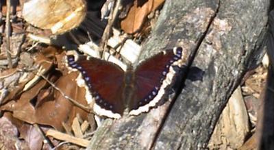Mystery Butterfly