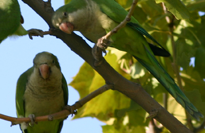 Monk Parakeets of Pelham Bay Park