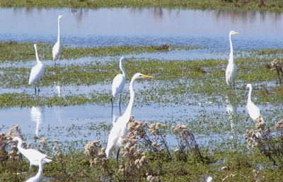 Sea of egrets